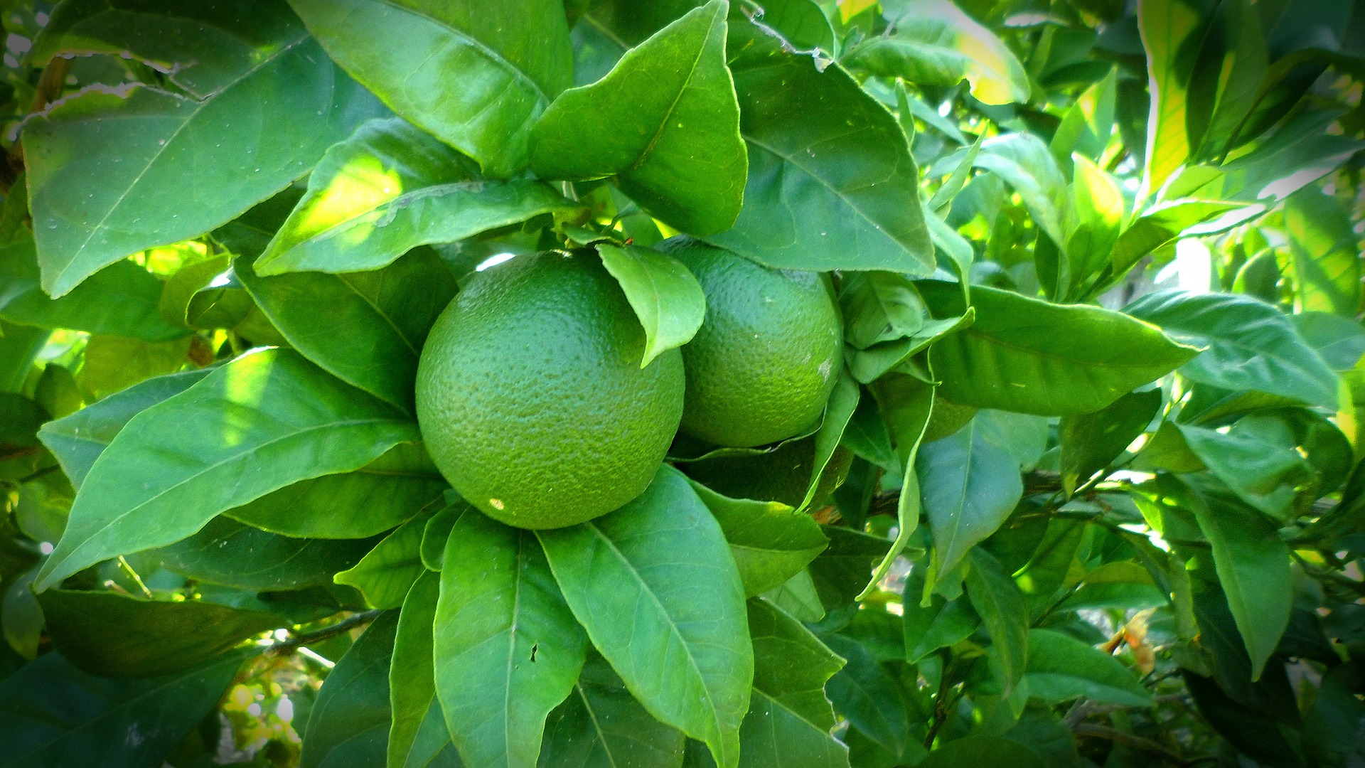 green limes on a tree, photo by Noemi Martinez
